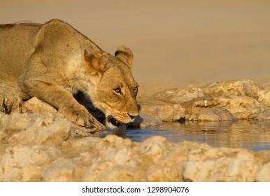 African lion (Panthera Leo), female, Kgalagadi Transfrontier Park, Kalahari desert, South Africa.