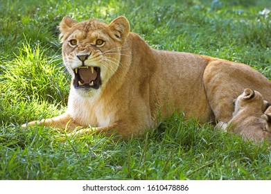 AFRICAN LION panthera leo, FEMALE GROWLING WITH BABY