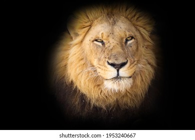 African Lion (Panthera leo leo) on black background