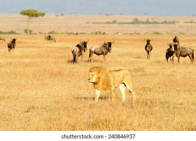 An African Lion (Panthera leo) on the Masai Mara National Reserve safari in southwestern Kenya.