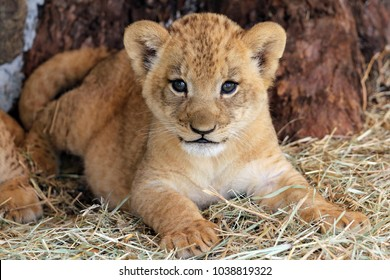 African lion (Panthera leo) young cub.