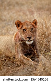 African lion (Panthera leo) - Young Male, after eat, Kruger National Park, South Africa.