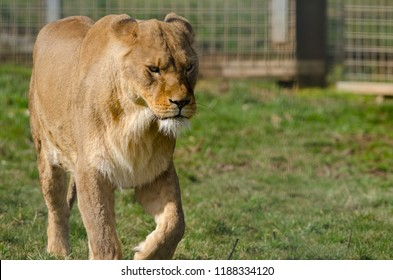 An african lion prowls around