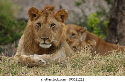 African Lion Resting / An African lion resting near bushes