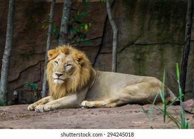 African lion resting on the ground