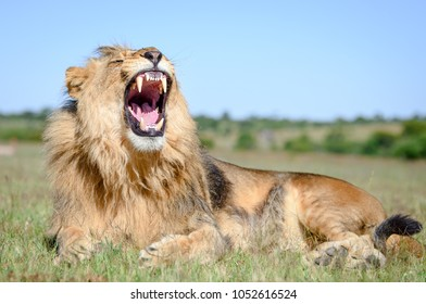 African Lion roar, lion male with manes on African savannah in Zimbabwe, Africa.