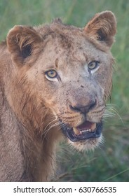 African lion in the savannah at the Hlane Royal National Park, Swaziland