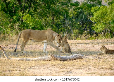 African lioness greeting a young cub in the wild