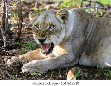 African lioness growls at the camera. A well-fed predator lying at the prey. A female lion roar guards a lying place. Lioness African aggression. Kruger National Park, South Africa,