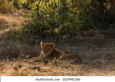 African Lioness Lying in Brown and Dry Grasslands