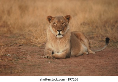 An African lioness, Namibia, Africa