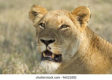African Lioness (Panthera leo) Kruger Park, Soouth Africa