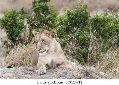 African lioness resting in grass , Masai Mara, Kenya