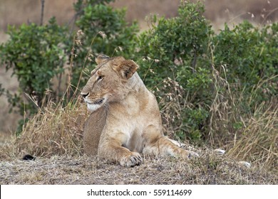 African lioness resting in shadow, Eastern  Africa