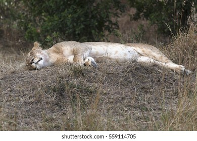 African lioness resting in shadow, Masai Mara reserve, Kenya