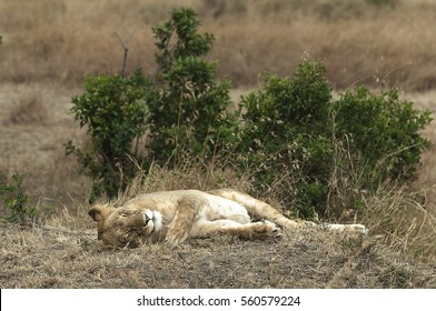 African lioness resting in shadow, Masai Mara National Reserve reserve, Kenya