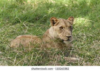 African lioness rests in the shadow in the grass, Eastern  Africa