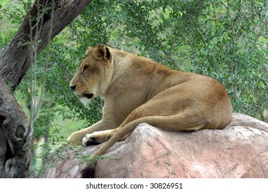 African Lioness, seen with a forest background, sitting on a rock