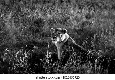 African lioness in the Serengeti National Park, Tanzania