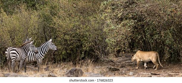 African lioness stalking  zebra herd , Masai Mara National Reserve, Kenya