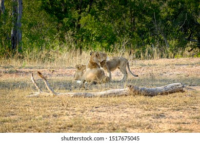African lioness with two cubs in the wild