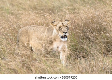 African lioness walk through tall grass , Kenya