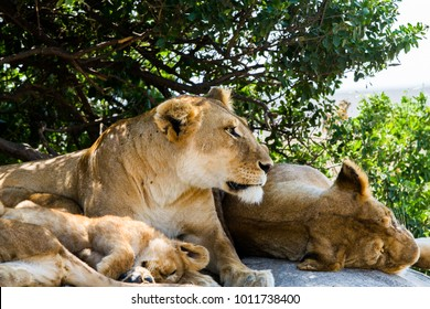 African lionesses with lion cubs (Panthera leo), species in the family Felidae and a member of the genus Panthera, listed as vulnerable, in Serengeti National Park, Tanzania