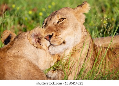 African lions cleaning each other in kruger national park