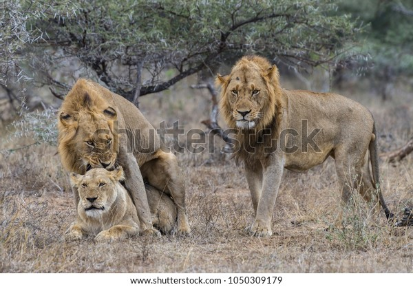 African Lions Life Cycle Stock Photo (Edit Now) 1050309179