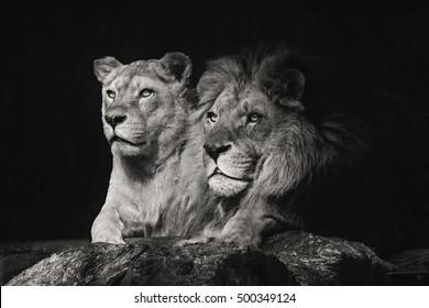 Couple Of Lion Images Stock Photos Vectors Shutterstock