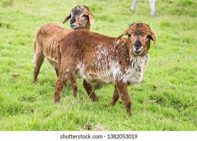 Long Haired Sheep Images, Stock Photos & Vectors   Shutterstock