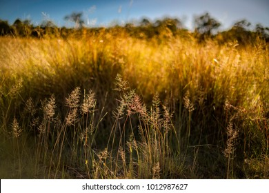 African Love Grass, a perennial tussock grass introduced to Australia for foraging. Found to be relatively unpalatable once mature. An invasive herbaceous plant that  is a major environmental weed.