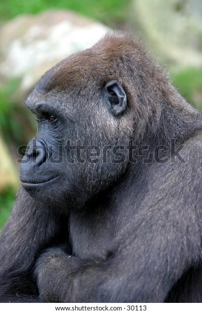 african low land gorilla