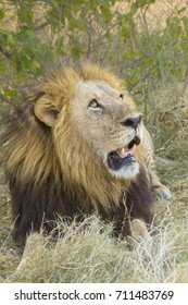 African male lion, Botswana, Africa