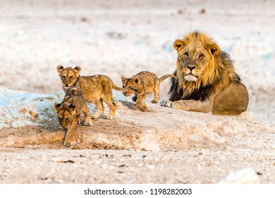 An African male lion with his kids in Etosha National Park of Namibia.