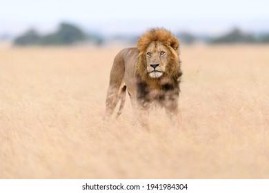 African male lion (Panthera Leo) hunting in long grass in Masai Mara, Kenya