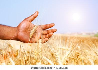 afrikanischer Mann, der Weizenähren auf sonnigem Feld hält - Schwarmännchen, der an heißen Sommertagen durch Getreideernte geht - Konzept der antiken ländlichen Aktivitäten und Liebe für das Ergebnis harter Arbeit