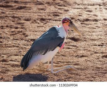 African marabou stork, resting