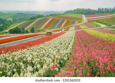 African Marigold, Salvia splendens blossom in rainbow lines in the famous and beautiful Panoramic Flower Gardens Shikisai-no-oka at Hokkaido, Japan