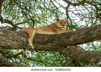 An African masai lioness resting up on an Acacia tree.