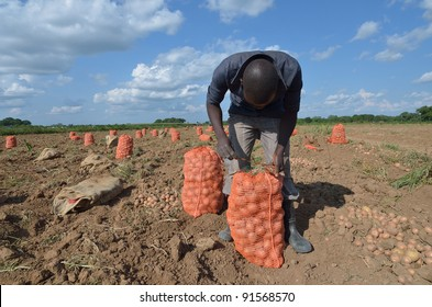 African men in a field of potatoes