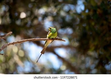 African merops bee eater
