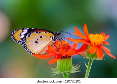 African Monarch butterfly feeding from an orange wild flower.