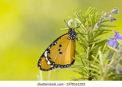 African monarch butterfly on lavender macro shot