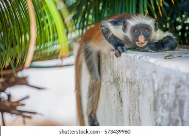 African Monkey Zanzibar red colobus