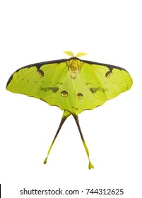 African moon moth, Argema mimosae, isolated on white background. The moth is yellow-green, big, has long tails on its wings and feather-like antennae. Moths look like butterflies but fly at night.