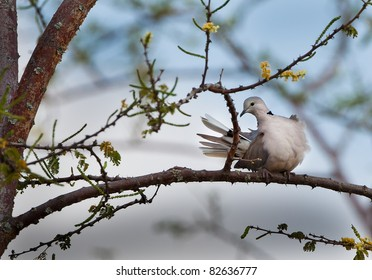 African Morning Dove sits on branch in Tanzania, Africa