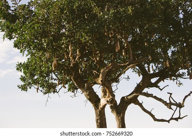 African native tree