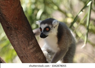 african nature and animals - cute young grey, white and black lemur with orange eyes sitting on a tree brach, with green leaves in the background, Africa on a sunny  summer day