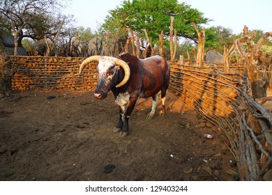African Nguni bull at the Great Kraal in Zululand, South Africa. The bare-handed killing of a bull by Zulu warriors is part of an annual ceremony in South Africa